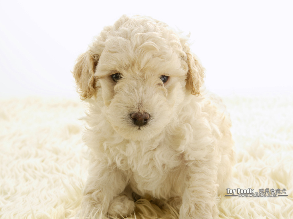 Cuddly Puppies Toy Poodle Puppy Wallpapers 1024x768 No 12 Desktop Wallpaper Wallcoo Net
